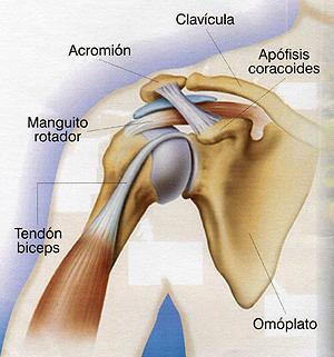 anatomiahombro01